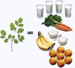 moringa oleifera contains 7 times the vitamin c of oranges, 4 times the vitamin a of carrots, 4 times the calcium of milk, 3 times the potassium of bananas, and 2 times the protein of yogurt