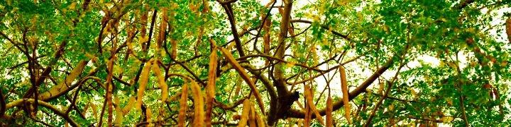 zija moringa oleifera
